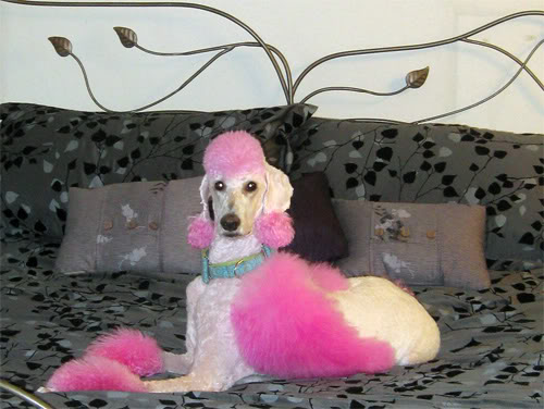 Dose of Poodle