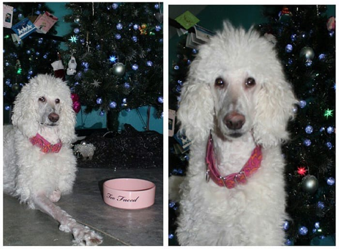 Phaedra the standard poodle wishes you Merry Christmas