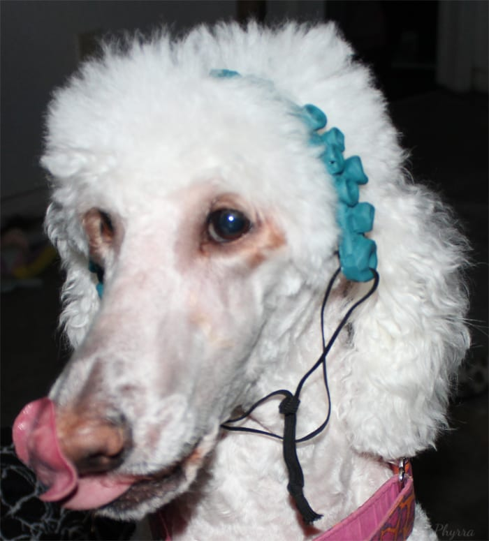 Phaedra the Standard Poodle