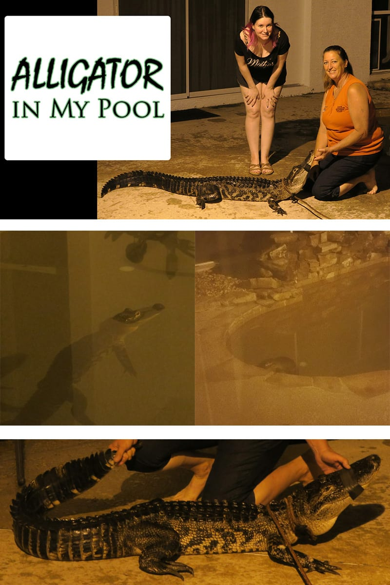 Alligator in My Pool