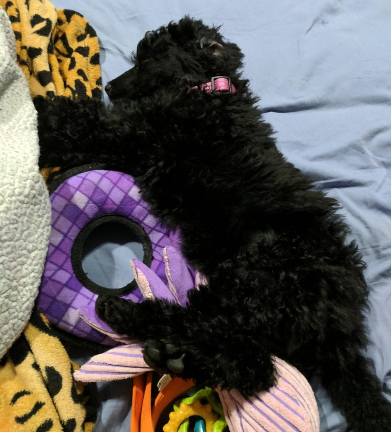 Nyx the Standard Poodle