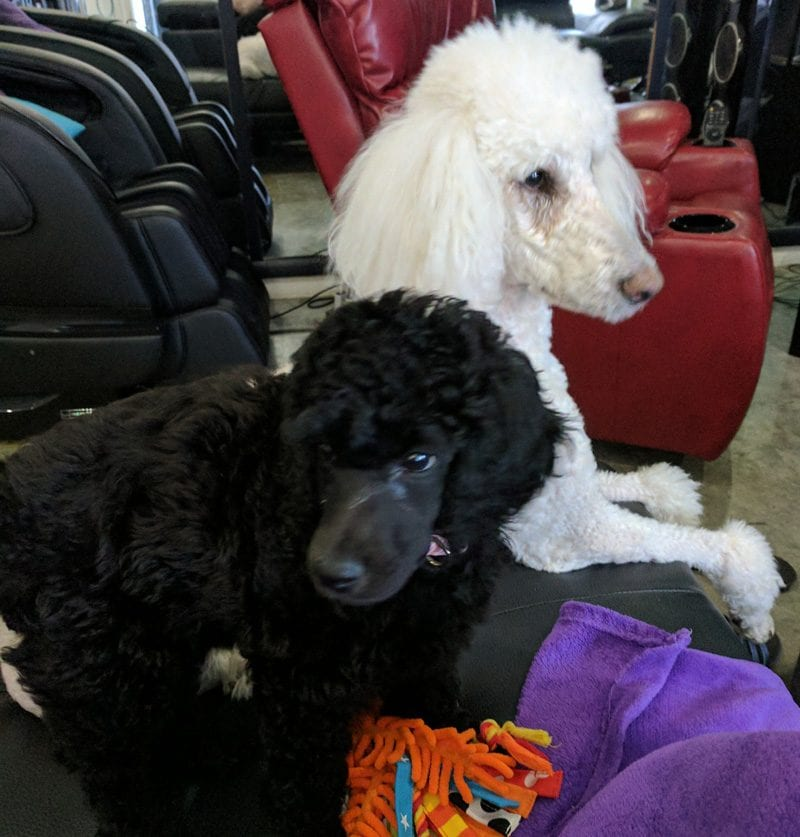 Nyx & Phaedra the Standard Poodles