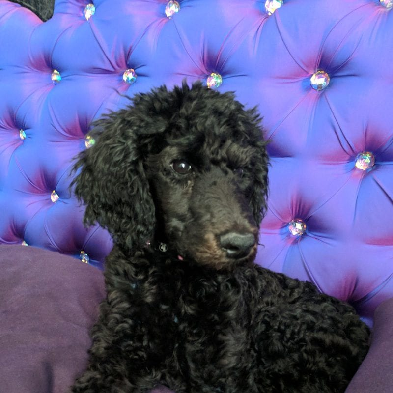 Nyx the black standard poodle