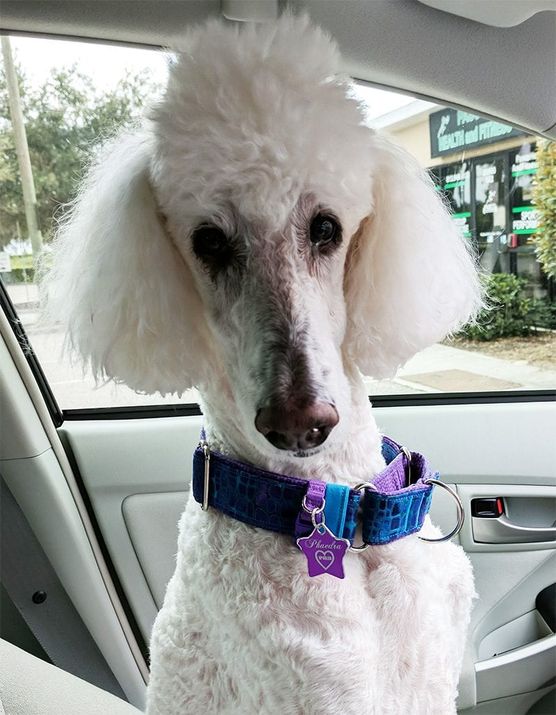 Phaedra the white standard poodle