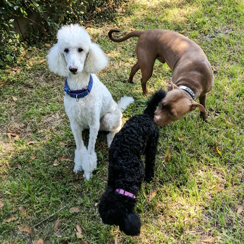Phaedra and Nyx - standard poodles playing with a pitbull