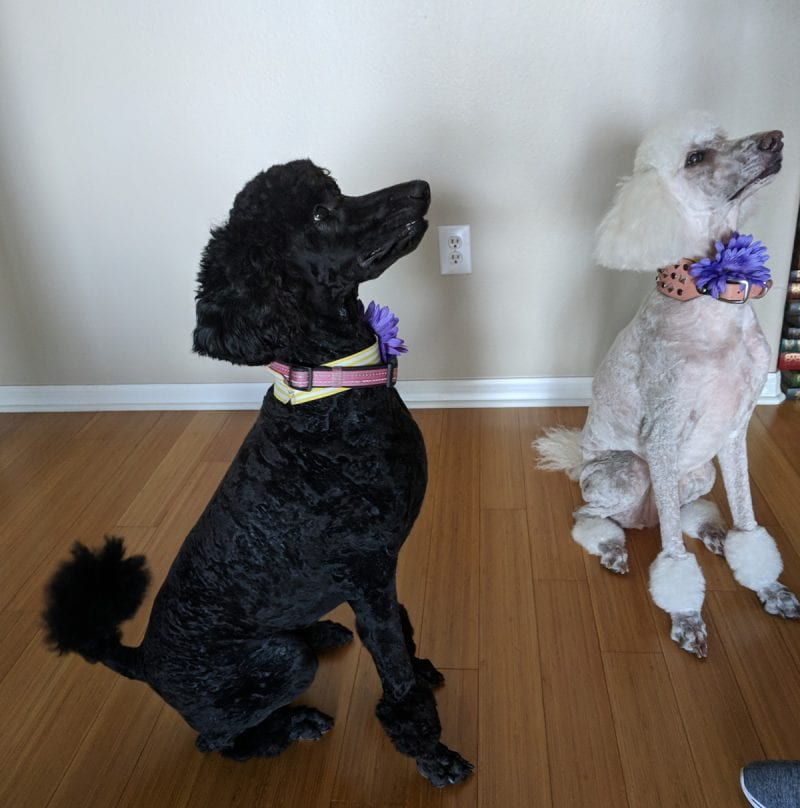 Standard poodles, Phaedra and Nyx