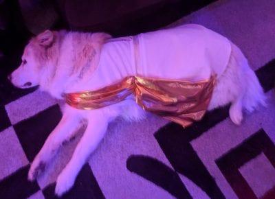 Toga Party Dog