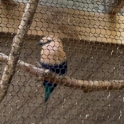 Blue Bellied Roller Bird from Africa