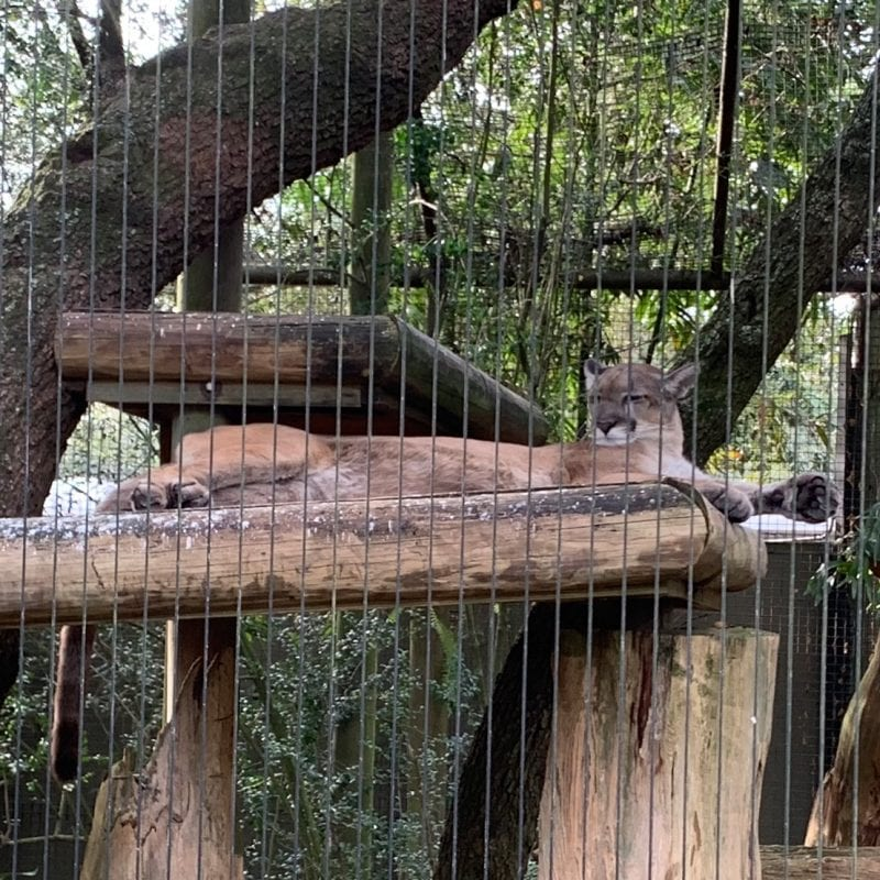 Florida Panther relaxing