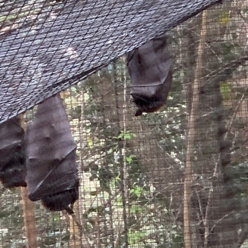 Bats at Lowry Park Zoo