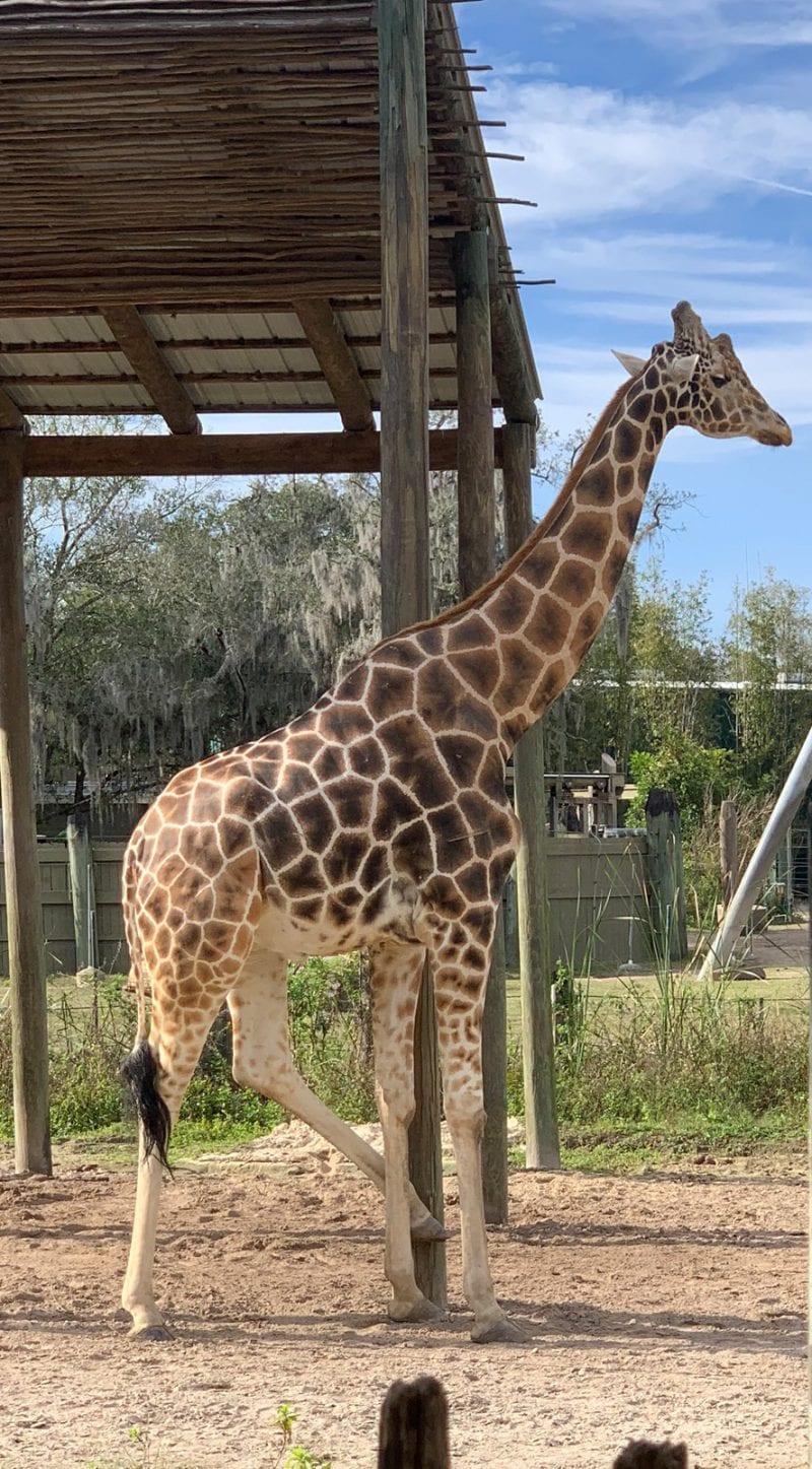 Silly Giraffe