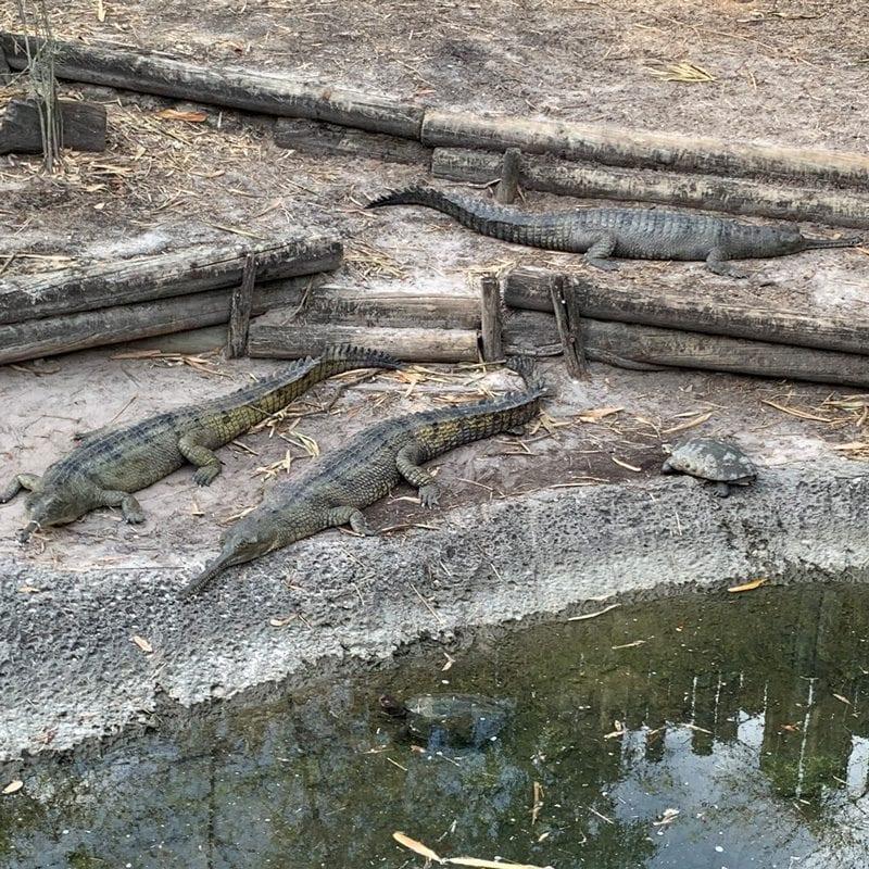 Indian Gharial crocodiles