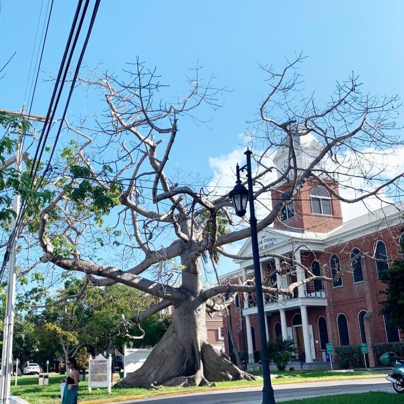Kapok Tree in Key West