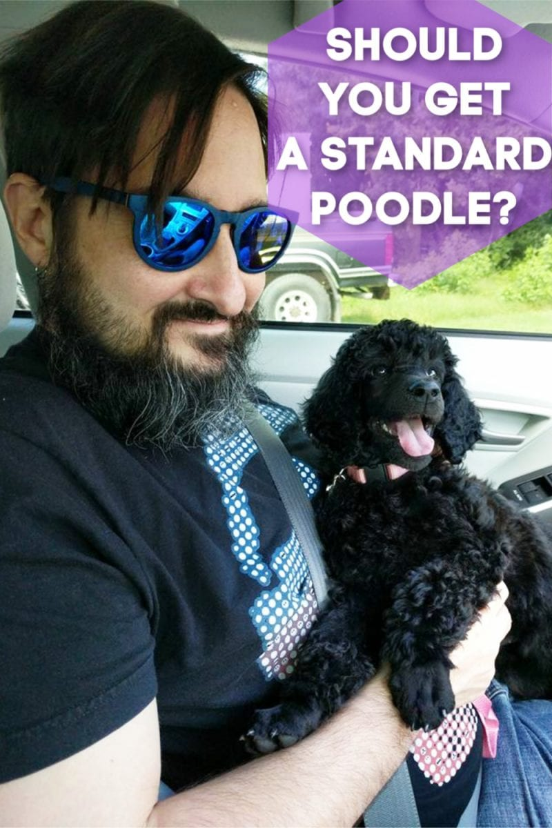 Should You Get a Standard Poodle?