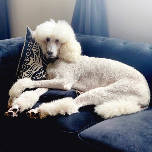 A Celebration of Phaedra the Standard Poodle