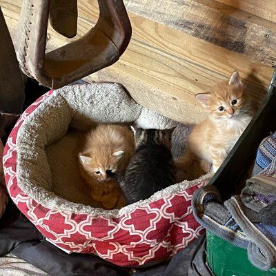 three barn kittens