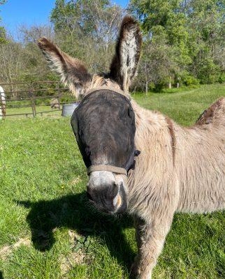 Shaggy the ancient donkey